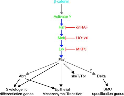A Raf/MEK/ERK signaling pathway is required for
