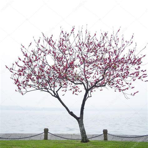albero fiori rosa albero fiore rosa fiori di pesco lungo il lago foto
