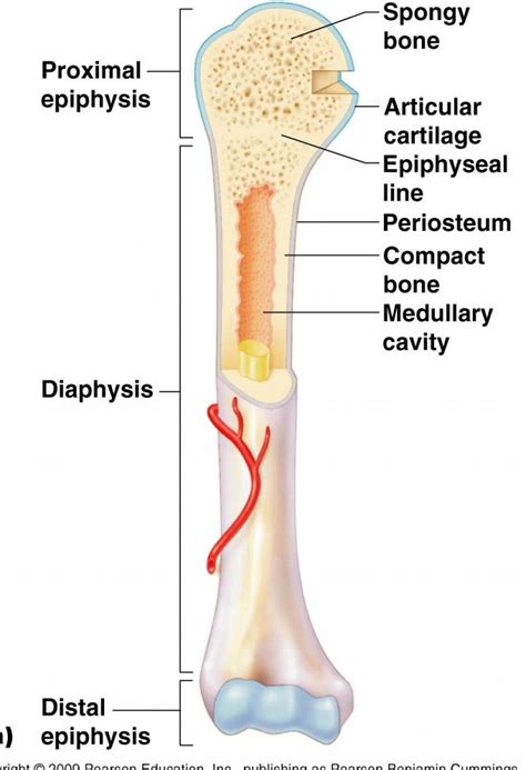 A Of Bones anatomy of bone human anatomy system