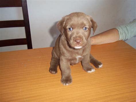 cuccioli di da appartamento cani taglia piccola cuccioli gil cucciolo da adottare