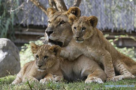 imagenes de leones con sus cachorros cachorros de leones presentados en buin zoo de chile