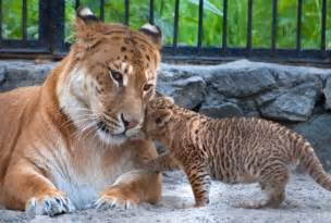 Caters news agency ligers are a rare mix of a lion and a tiger