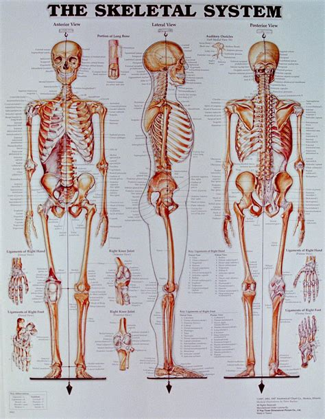 skeletal system the skeletal system thinglink