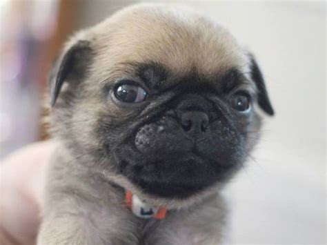 potty a pug puppy pug potty trained pug puppies 585 627 0385 dogs buy or