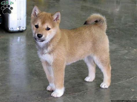 shiba inu puppies for sale in pa shiba inu puppies for sale in pa and continued shiba inu