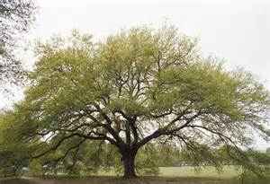 1439 oak tree layer on pg lsualumni s weblog