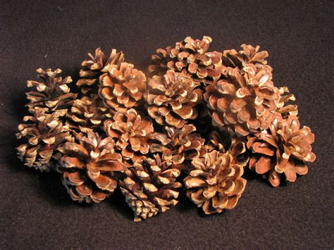 where to buy pine cones for crafts 25 small real scotch pine cones excellent for arts crafts or floral decor ebay