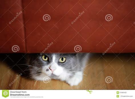 cat staring at couch cat hiding stock photo image 51995422