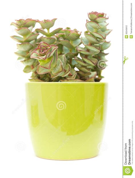 small potted plant isolated on white stock photo image echeveria stock photography image 30245812