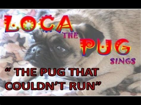 pug that cant run 15 best loca the pug images on the pug pugs and singing