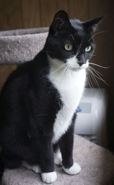 tuxedo cat  shy  friendly njcom