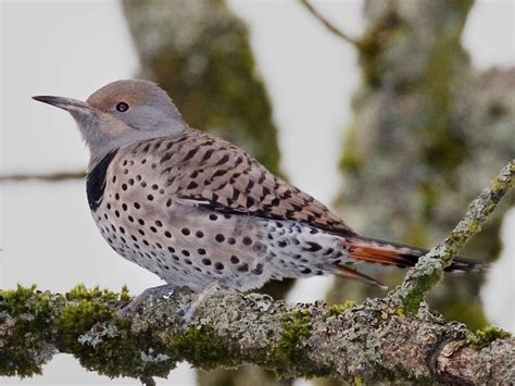 northern flicker willapa u s fish and wildlife service