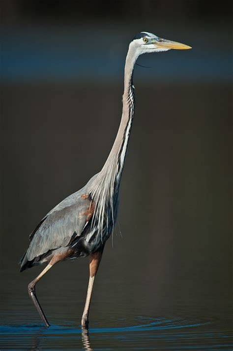 17 Best Images About Blue Herrons On Pinterest Birds Of Blue Heron Meaning