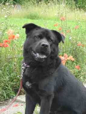 lab chow rottweiler mix lab chow rottweiler mix breeds picture