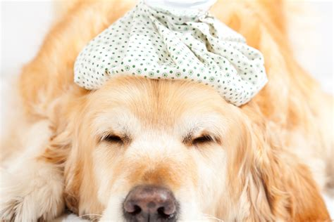 adenovirus in dogs adenovirus 1 in dogs symptoms causes diagnosis treatment recovery management cost