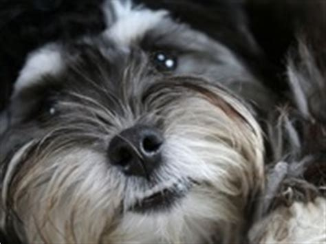 havanese rescue wisconsin rat terrier rescue adoptions rescuemeorg picture breeds picture