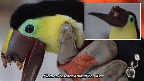 toucan s beak broken after teenagers beat it with sticks