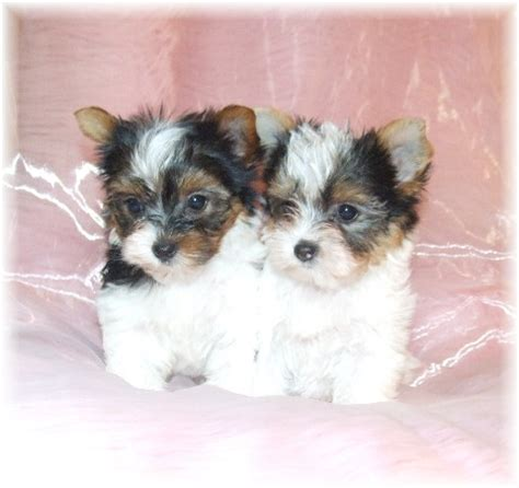 yorkie puppies nc parti yorkie for sale in carolina breeds picture