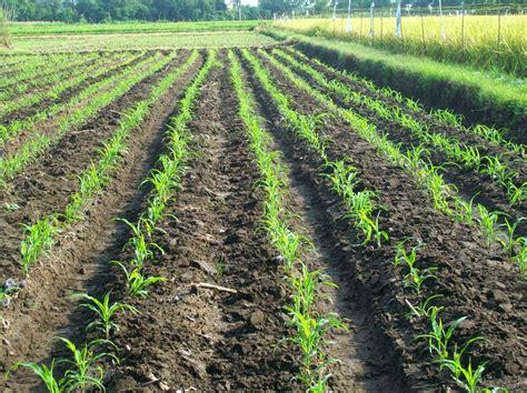 Bibit Jagung Manis Di Makassar cara menanam dan budidaya jagung manis pertanian