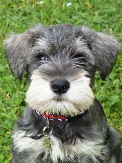puppy schnauzer 1000 ideas about schnauzer mix on schnauzers puppy for adoption and