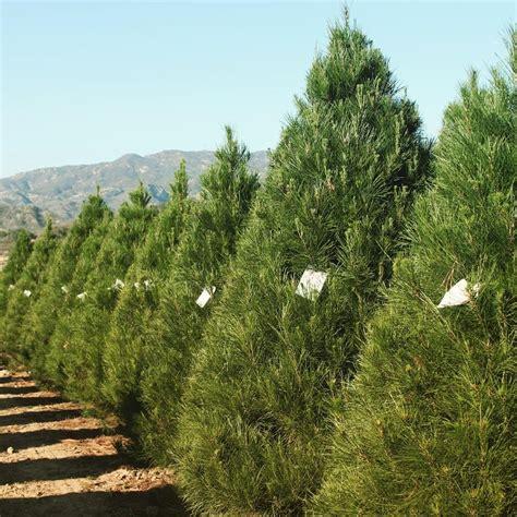100 arkansas christmas tree farms 42 best specialty