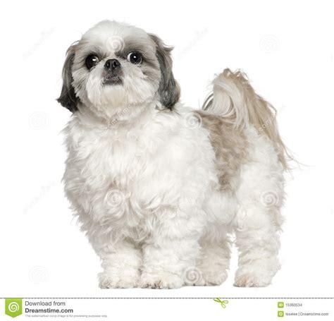 7 year shih tzu shih tzu 5 years standing stock photo image of isolated animal 15360534