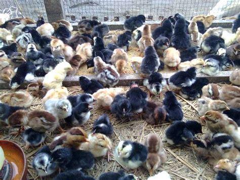 Bibit Ternak Ayam Petelur kami bongkar rahasia sukses ternak ayam kung
