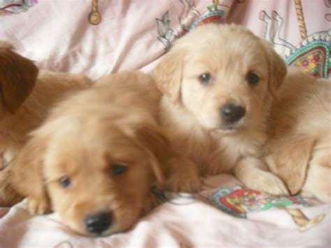 golden retriever breeders montreal free golden retriever puppies