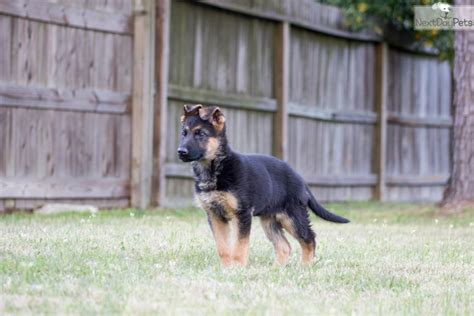german shepherd puppies houston tx german shepherd puppy for sale near houston b48c0e89 2f91