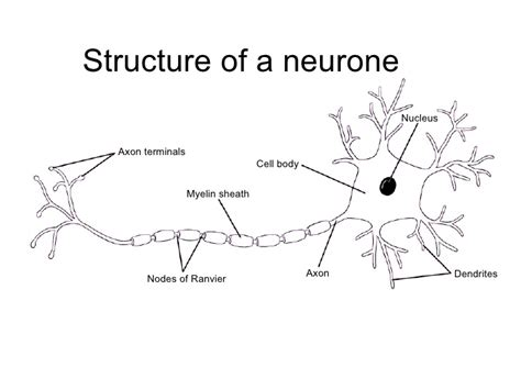 Section 35 2 The Nervous System by Chapter 13 The Nervous System Lesson 2 The Structure Of