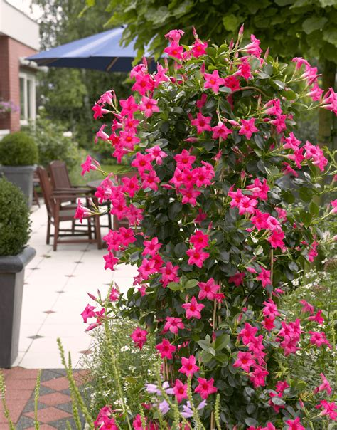 Mandevilla Pink 1 sundaville pink world s no 1 mandevilla dipladenia