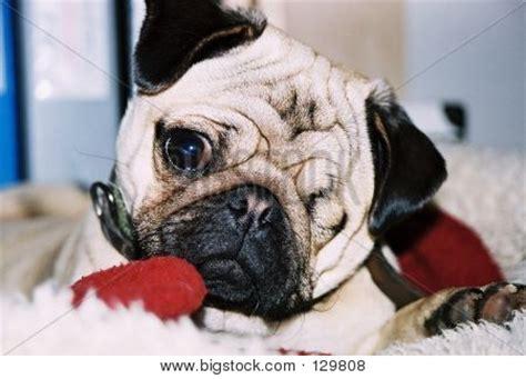 one eyed pugs one eyed pug stock photo stock images bigstock