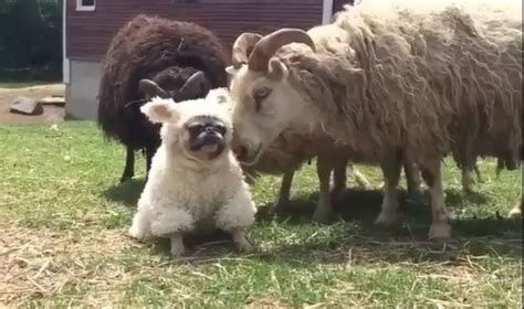 sheep pug a pug in sheep s clothing boing boing