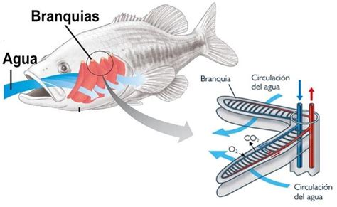 imagenes animales que respiran por branquias tipos de peces