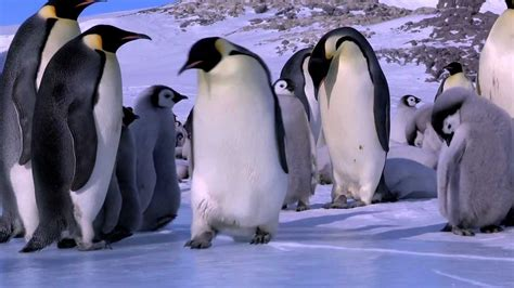 Pinguin Top penguin fail best from penguins in the huddle waddle all the way