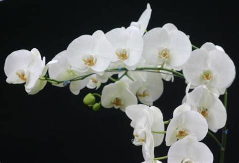 care of orchids after flowering phalaenopsis orchid lamberdebie s