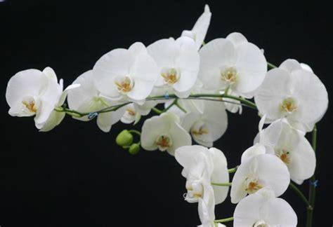 phalaenopsis lamberdebie s blog