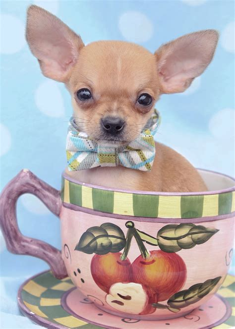 puppies and more teacup puppies by breed yorkies chihuahuas pomeranians maltese breeds picture