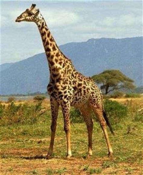 jirafas imagenes lindas animales fotos dibujos imagenes fotos de jirafas