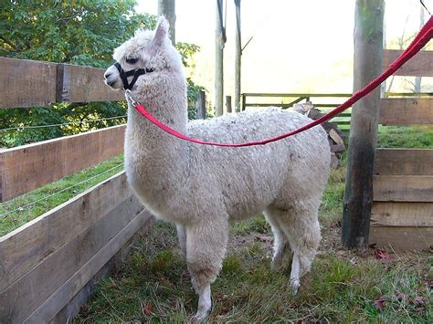 lua the llama and the mountain of books alpaca fiber llama fiber sheep fiber or wool how are