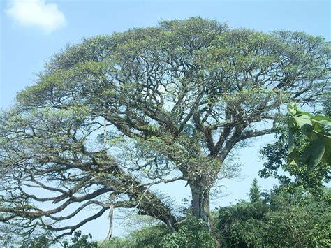 australian acacia tree things about trees