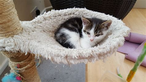 cats for adoption kitten for adoption cheadle greater manchester pets4homes