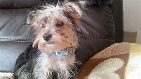 maltese yorkie puppy maltese terrier waterlooville hshire pets4homes