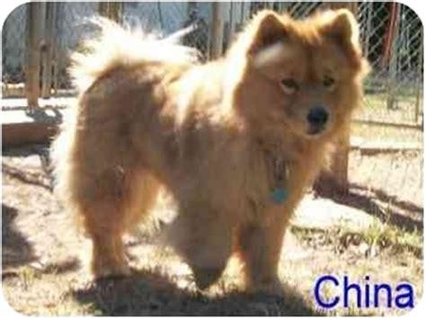 chow chow pomeranian puppies china adopted ozark al chow chow pomeranian mix
