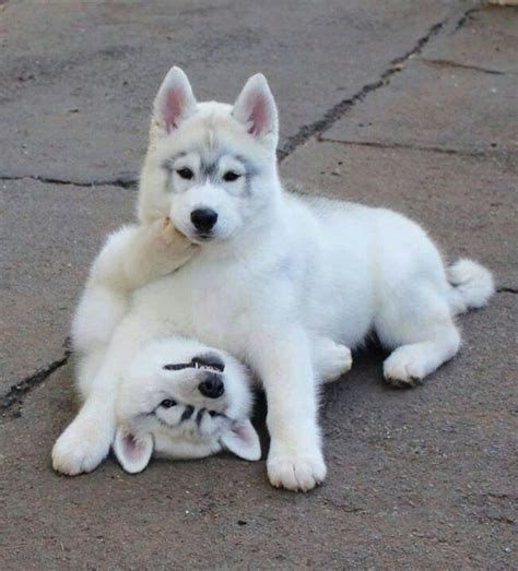 white husky puppies white husky puppies huskies beautiful a unicorn and pictures