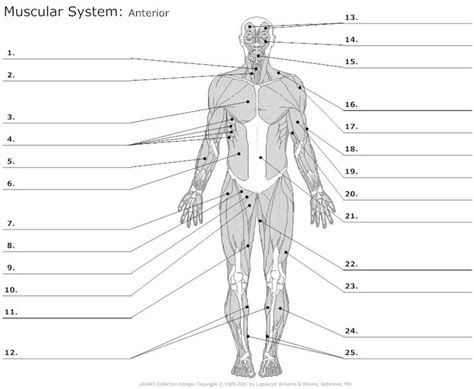 Muscular System Worksheet by Learn Anterior Muscles By Alysenbeasley6 Memorize