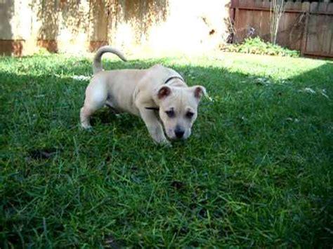 pitbull doberman mix puppies pitbull doberman mix 11 week puppy