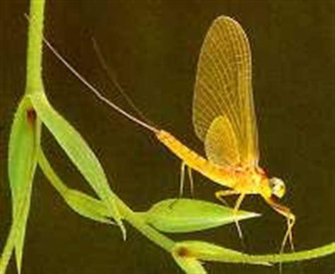 yellow mayfly pattern yellow drake fanwing mayfly spinner fly pattern