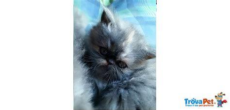 gatti persiani firenze prestigiosi persiani in vendita a firenze fi