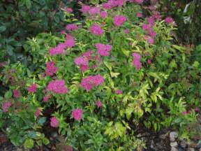 spirea morden nurseries and garden center